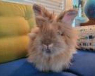 Adopt Tip Top a Bunny Rabbit