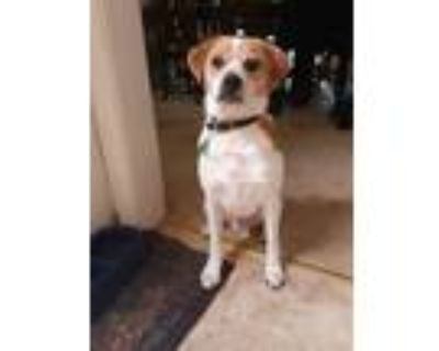 Adopt Winston a White - with Brown or Chocolate Jack Russell Terrier / Pug /