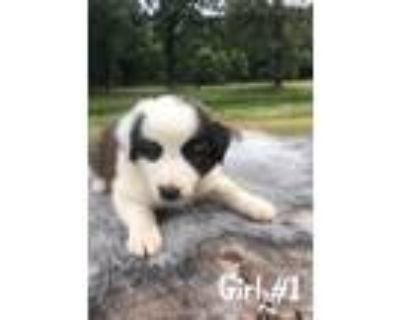 Adopt Weeping Willow a Border Collie / Mixed dog in Barrington, RI (31909940)