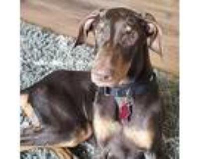 Gertie - Sponsorship, Doberman Pinscher For Adoption In Minneapolis, Minnesota