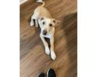Adopt No Name a Tan/Yellow/Fawn - with White Bull Terrier / Newfoundland / Mixed