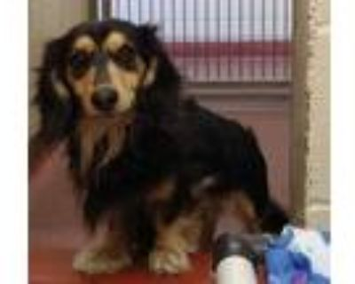 Adopt Kovu a Black Dachshund / Mixed dog in Cheyenne, WY (30292891)