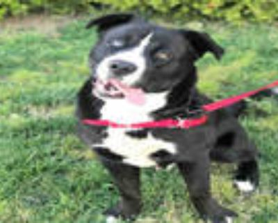 Adopt PUGSLEY a Black - with White American Pit Bull Terrier / Mixed dog in