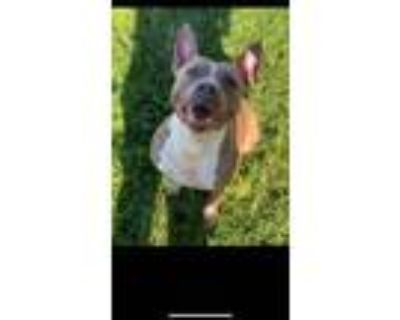 Adopt Babe a Pit Bull Terrier