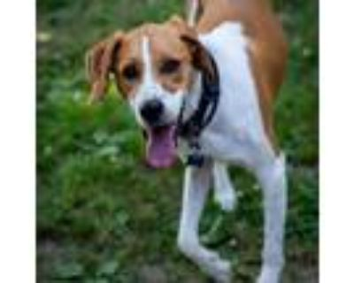 Adopt 21-059 Boomer a White - with Tan, Yellow or Fawn Foxhound / Mixed dog in