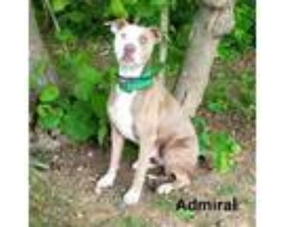 Adopt Admiral a Pit Bull Terrier