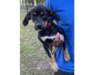 Adopt Johnny a Rottweiler, Black Mouth Cur