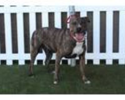 Adopt PULA a Brindle - with White American Pit Bull Terrier / Mixed dog in