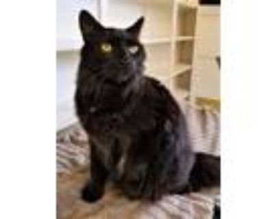 Adopt Jade a All Black Domestic Longhair / Domestic Shorthair / Mixed cat in