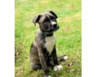 Adopt Ragnar a Brindle - with White Pit Bull Terrier / Mixed dog in Broken