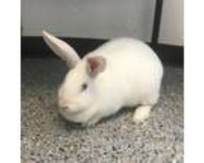 Adopt Dandelion (Chow Hound Grand Haven) a New Zealand / Mixed rabbit in West