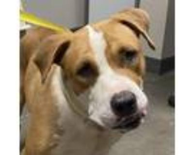 Adopt Odin a White - with Tan, Yellow or Fawn American Pit Bull Terrier / Mixed