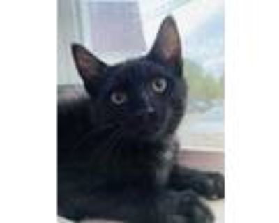 Adopt Scooby~s21/22-0070a a All Black Domestic Shorthair / Domestic Shorthair /