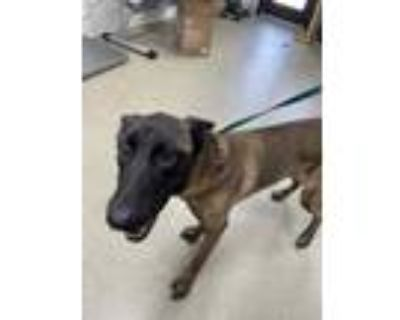 Adopt 48323770 a Black Belgian Malinois / Mixed dog in Fort Worth, TX (32086109)