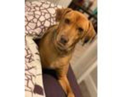 Adopt Rusti a Vizsla / Labrador Retriever / Mixed dog in Kettering