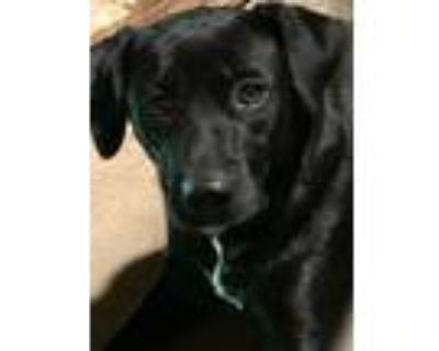 Adopt Mattie a Labrador Retriever