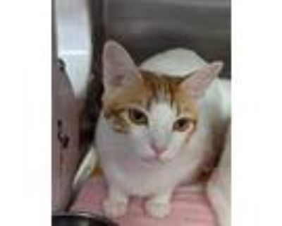 Adopt Harvard a White Domestic Shorthair / Domestic Shorthair / Mixed cat in