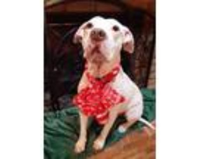 Adopt Roscoe a White Catahoula Leopard Dog / American Pit Bull Terrier / Mixed