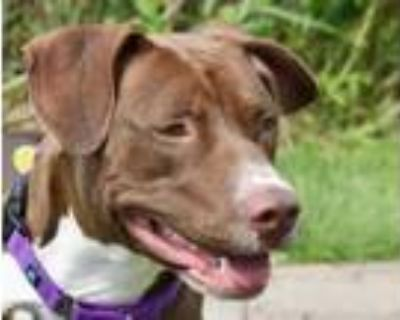 Adopt MOCHA a Pit Bull Terrier, Mixed Breed