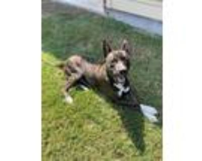 Adopt HARDY a Pit Bull Terrier, Mixed Breed