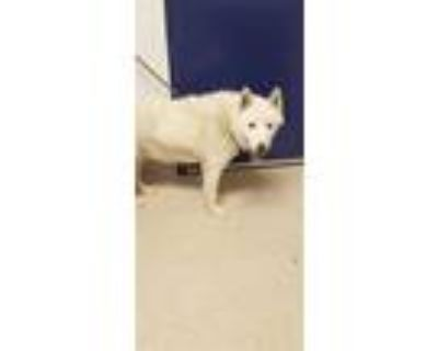 Adopt *TELEK a White Husky / Mixed dog in Bakersfield, CA (31525273)