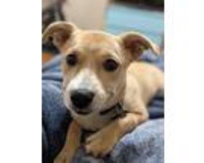 Adopt Rosa a Corgi, Labrador Retriever