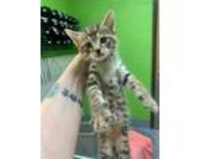 Adopt NAVY-TURBO a Brown Tabby Domestic Shorthair / Mixed (short coat) cat in
