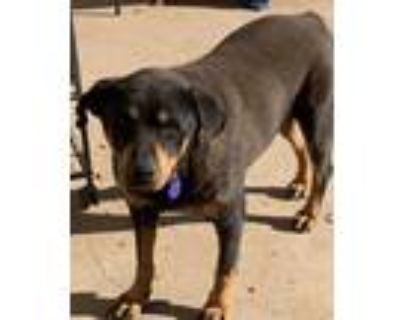 Adopt Clara a Black - with Tan, Yellow or Fawn Rottweiler / Mixed dog in