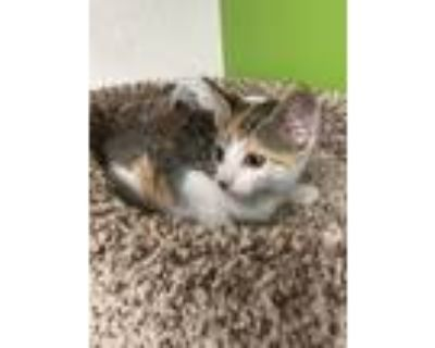 Adopt Chowder a Calico or Dilute Calico Domestic Shorthair (short coat) cat in
