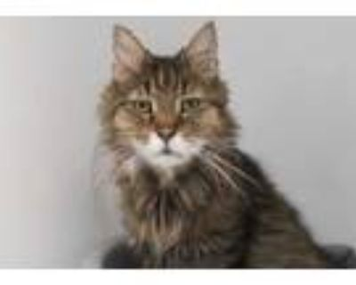 Adopt Hobbs a Brown or Chocolate Domestic Longhair / Domestic Shorthair / Mixed
