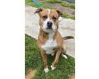Adopt Loki a Brown/Chocolate German Shepherd Dog / American Pit Bull Terrier /