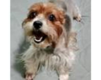 Adopt Gizmo Blooms a Yorkshire Terrier