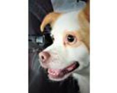 Adopt Duke a Corgi, Terrier