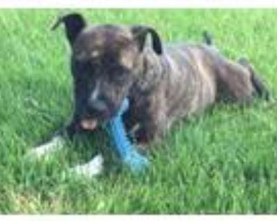 Adopt Dashing Dimitri a Boxer, Pit Bull Terrier