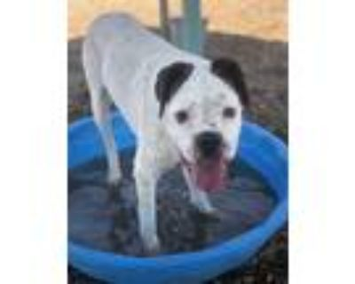 Adopt ABBY a White - with Brown or Chocolate Boxer / Mixed dog in Albuquerque