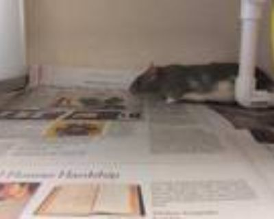 Adopt FIG a Silver or Gray Rat / Mixed small animal in Denver, CO (31515575)