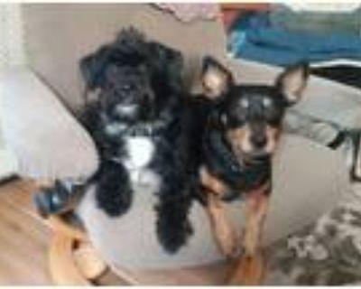 Adopt Bo & Ripley (BONDED PAIR) a Miniature Pinscher, Terrier