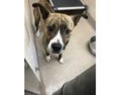 Adopt 47992034 a Brindle American Pit Bull Terrier / Mixed dog in Shelby