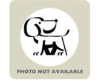 Adopt Buttons a West Highland White Terrier / Westie, Miniature Poodle