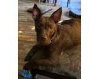 Adopt Jessie a Brown/Chocolate - with White Terrier (Unknown Type
