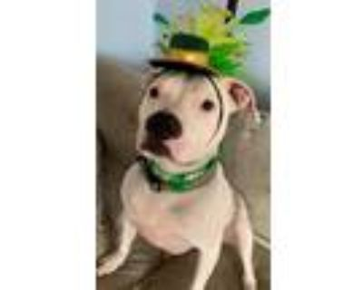 Adopt Beethoven a American Pit Bull Terrier / Mixed dog in Germantown