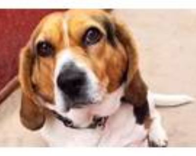 Adopt GeGe a Tricolor (Tan/Brown & Black & White) Beagle / Mixed dog in Los
