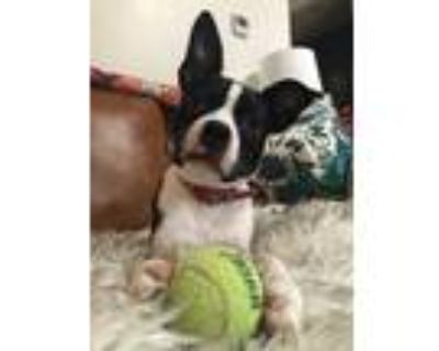 Adopt Lucy a Black - with White Border Terrier / Beagle / Mixed dog in