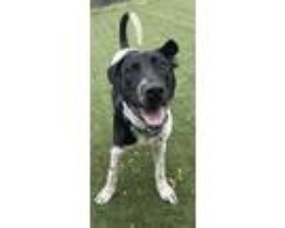 Adopt Marley (George Harrison) a Black German Shorthaired Pointer / Mixed dog in