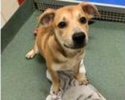 Adopt PRESLEY a Tan/Yellow/Fawn - with White German Shepherd Dog / Mixed dog in