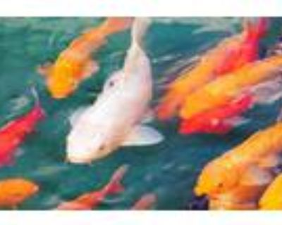 Adopt Koi and Gold Fish a Fish reptile, amphibian, and/or fish in Sterling