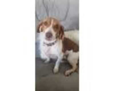 Adopt Laylah a White - with Brown or Chocolate Beagle / Mixed dog in