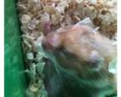 Coral, Hamster For Adoption In Portsmouth, Virginia