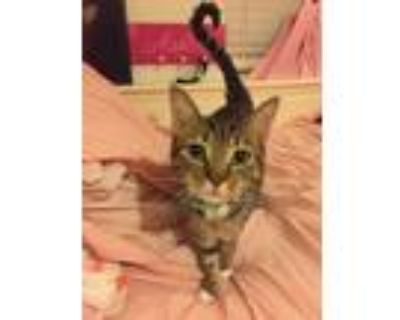 Adopt Mia a Brown Tabby American Shorthair / Mixed (short coat) cat in Beaumont