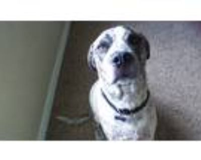 Adopt Brix a Brindle American Pit Bull Terrier / German Shorthaired Pointer /